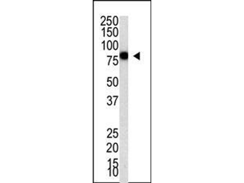 Western Blotting (WB) image for anti-PIASy1 (PIASy1) (AA 471-499), (C-Term) antibody (ABIN388062)