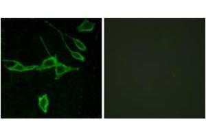 Image no. 2 for anti-Histamine Receptor H1 (HRH1) (AA 141-190) antibody (ABIN1535758)
