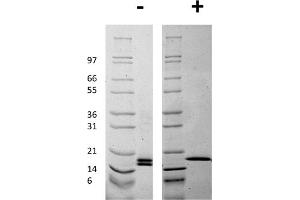 Image no. 1 for Fibroblast Growth Factor 2 (Basic) (FGF2) protein (ABIN6699841)