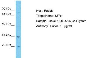 Image no. 1 for anti-SWI5-Dependent Recombination Repair 1 (SFR1) (C-Term) antibody (ABIN2791660)