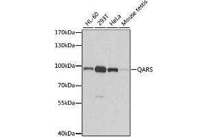 Image no. 1 for anti-Glutaminyl-tRNA Synthetase (QARS) antibody (ABIN6570811)