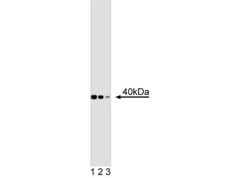 Western Blotting (WB) image for anti-Ubiquitin Fusion Degradation Protein 1 Homolog (UFD1L) (AA 120-241) antibody (ABIN968620)