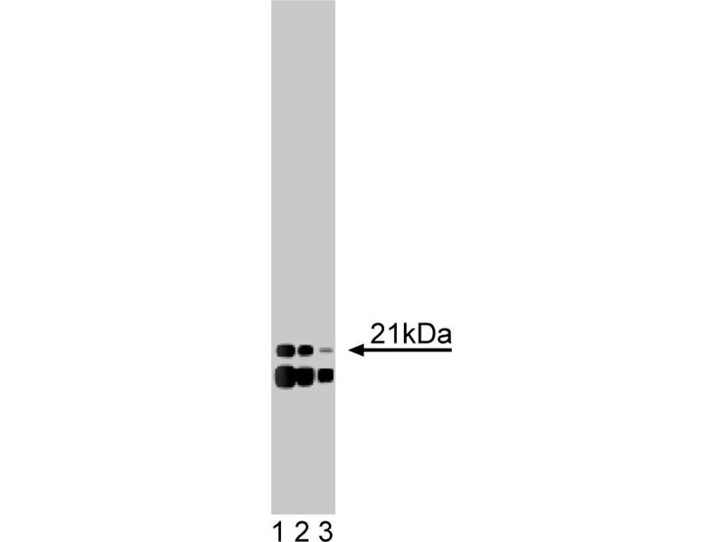 Western Blotting (WB) image for anti-Ubiquitin-Conjugating Enzyme E2E 1 (UBE2E1) (AA 46-58) antibody (ABIN968426)