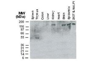 Image no. 3 for anti-NLR Family, Pyrin Domain Containing 1 (NLRP1) (AA 161-180) antibody (ABIN957215)