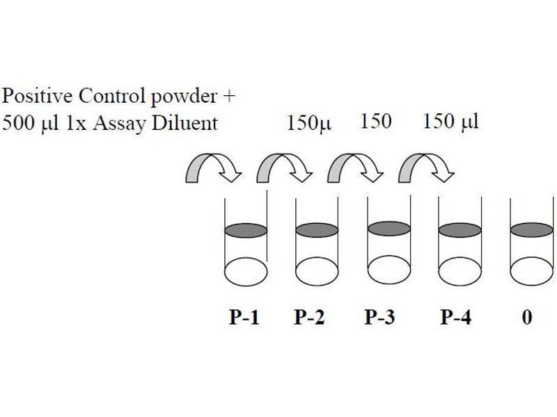 V-Akt Murine Thymoma Viral Oncogene Homolog 1 (AKT1) ELISA Kit (4)