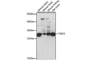 Image no. 1 for anti-Testis-Specific Serine Kinase 3 (TSSK3) antibody (ABIN6149656)