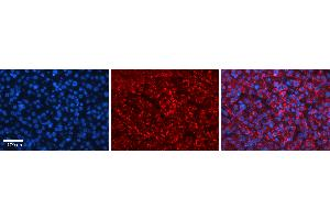 Image no. 2 for anti-Hect Domain and RLD 4 (HERC4) (Middle Region) antibody (ABIN2774773)