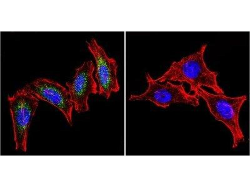 Immunofluorescence (IF) image for anti-Heat Shock 60kDa Protein 1 (Chaperonin) (HSPD1) antibody (ABIN4320164)