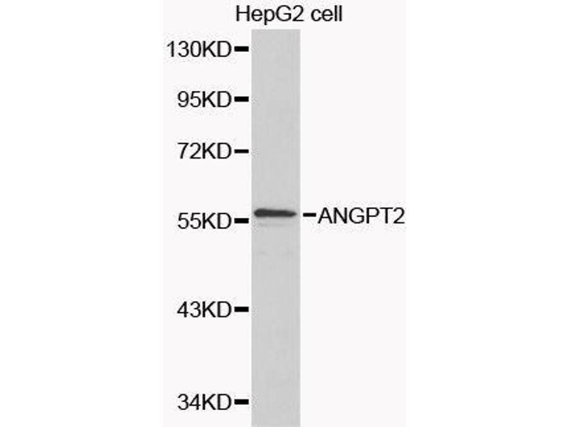 Western Blotting (WB) image for anti-Angiopoietin 2 (ANGPT2) antibody (ABIN3021112)