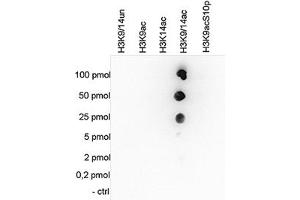 Image no. 1 for anti-Histone Cluster 1, H3a (HIST1H3A) (acLys14), (acLys9) antibody (ABIN5773855)