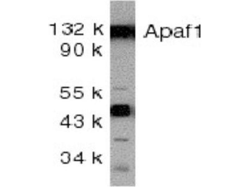Western Blotting (WB) image for anti-APAF1 antibody (Apoptotic Peptidase Activating Factor 1) (ABIN4280961)