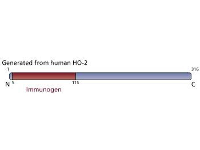 Image no. 3 for anti-Heme Oxygenase (Decycling) 2 (HMOX2) (AA 5-115) antibody (ABIN968345)