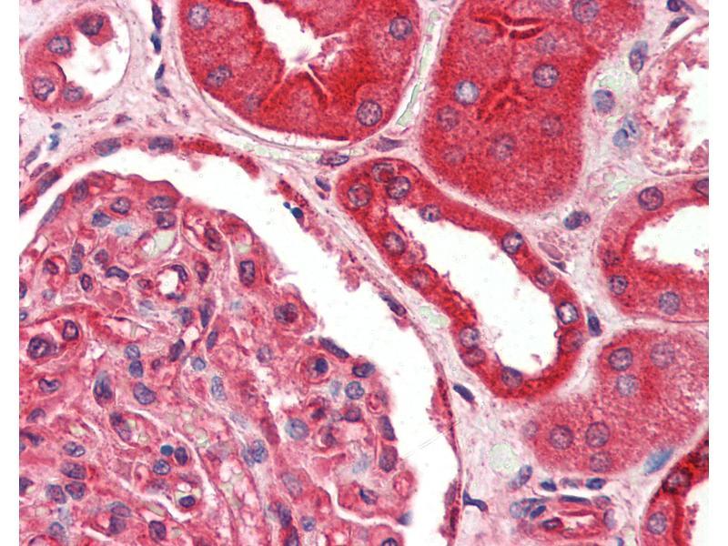 Image no. 3 for anti-Fas (TNFRSF6)-Associated Via Death Domain (FADD) antibody (ABIN461963)