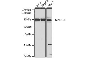Image no. 1 for anti-MAD1 Mitotic Arrest Deficient-Like 1 (Yeast) (MAD1L1) antibody (ABIN6567169)