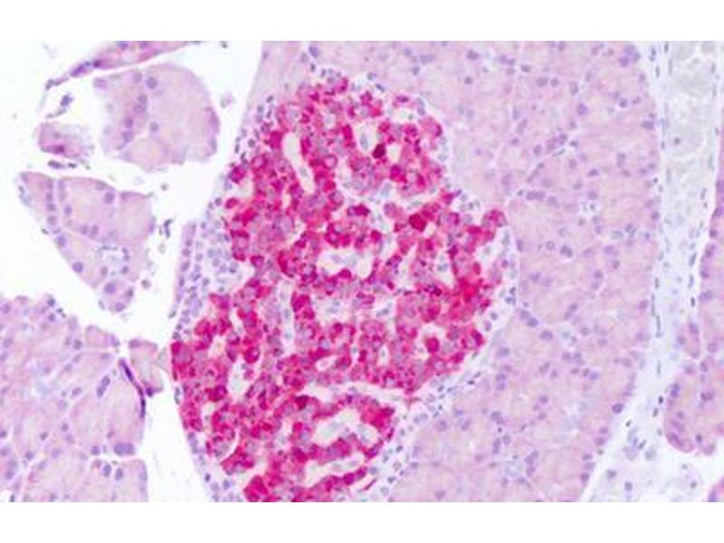 Immunohistochemistry (IHC) image for anti-Fibroblast Growth Factor 21 (FGF21) (N-Term) antibody (ABIN769002)