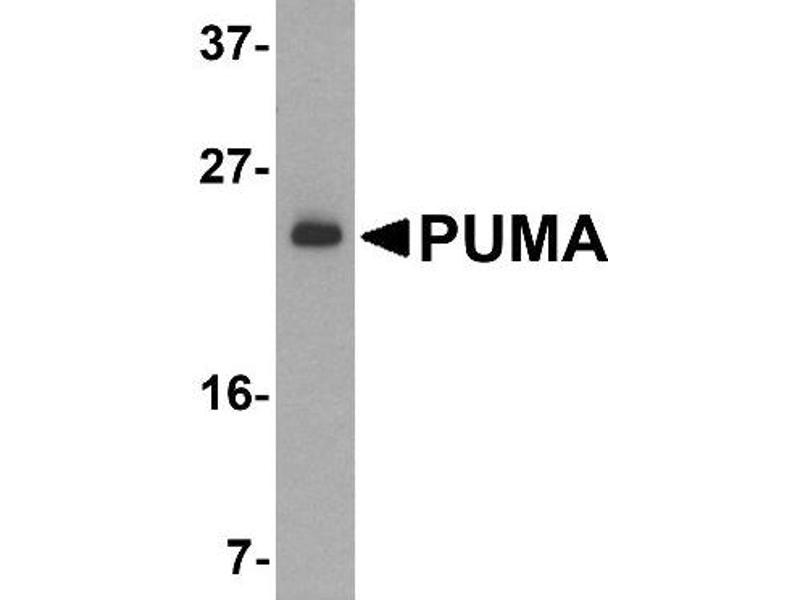 Western Blotting (WB) image for anti-BBC3 antibody (BCL2 Binding Component 3) (ABIN4348684)