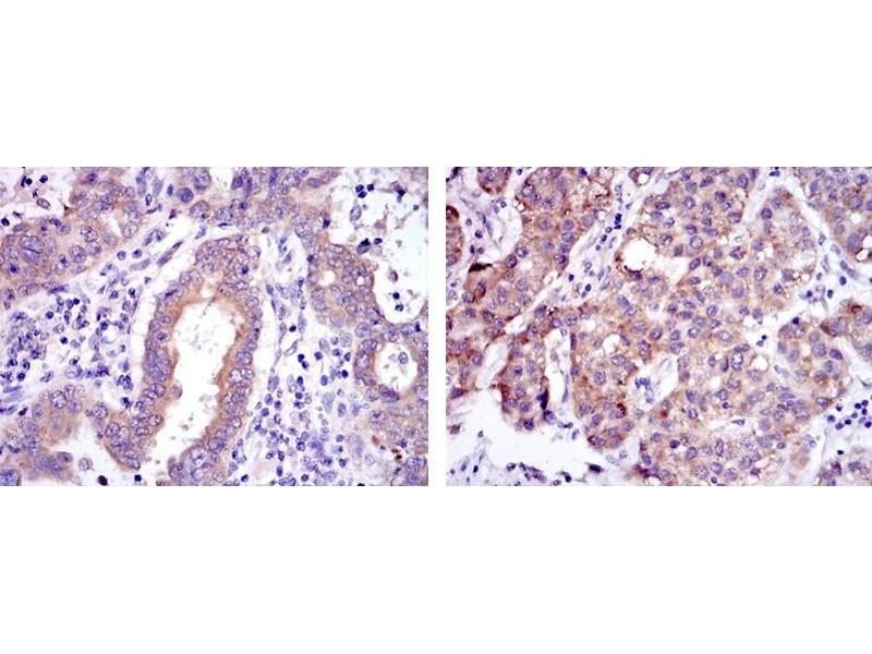 Immunohistochemistry (IHC) image for anti-SMN1 / SMN2 antibody (ABIN1109075)