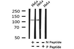 Image no. 1 for anti-Rap Guanine Nucleotide Exchange Factor (GEF) 1 (RAPGEF1) (pThr1071) antibody (ABIN6268144)
