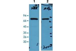 Image no. 2 for anti-Heat Shock 70kDa Protein 1-Like (HSPA1L) (N-Term) antibody (ABIN5648980)