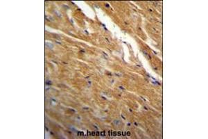 Image no. 3 for anti-TBC1 Domain Family, Member 13 (TBC1D13) (AA 76-105) antibody (ABIN5538002)