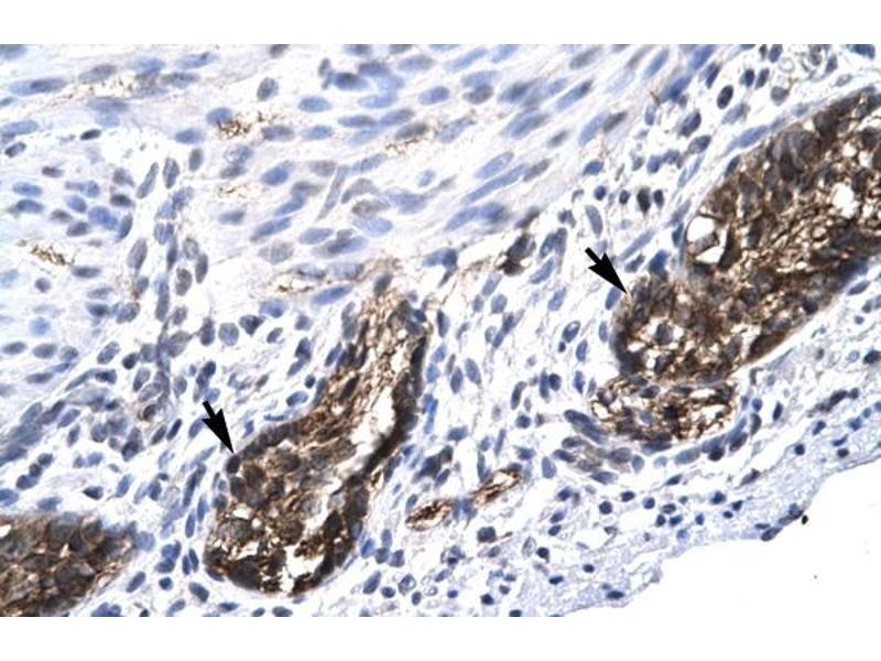 Immunohistochemistry (IHC) image for anti-E2F Transcription Factor 4, P107/p130-Binding (E2F4) (C-Term) antibody (ABIN2777218)