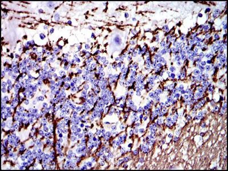 Immunohistochemistry (IHC) image for anti-Myelin Basic Protein (MBP) antibody (ABIN1108334)