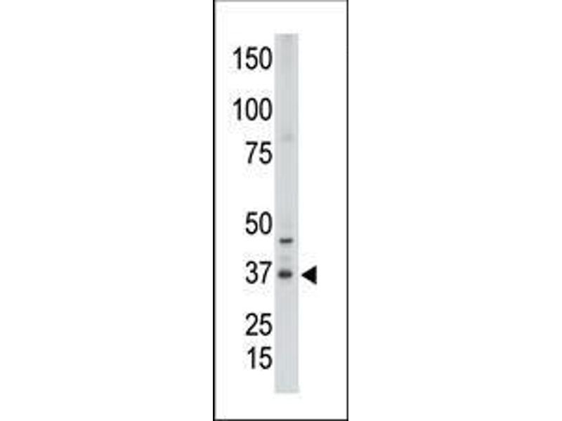 Western Blotting (WB) image for anti-CDX2 antibody (Caudal Type Homeobox 2) (AA 1-30) (ABIN390076)