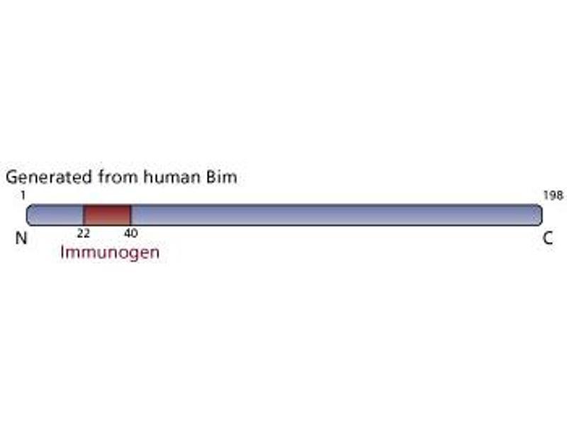Image no. 2 for anti-BIM antibody (BCL2-Like 11 (Apoptosis Facilitator)) (AA 22-40) (ABIN967649)