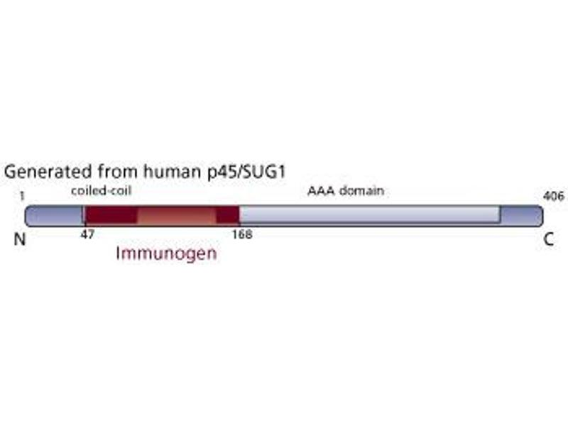 image for anti-Caspase 1 antibody (CASP1) (AA 47-168) (ABIN968350)
