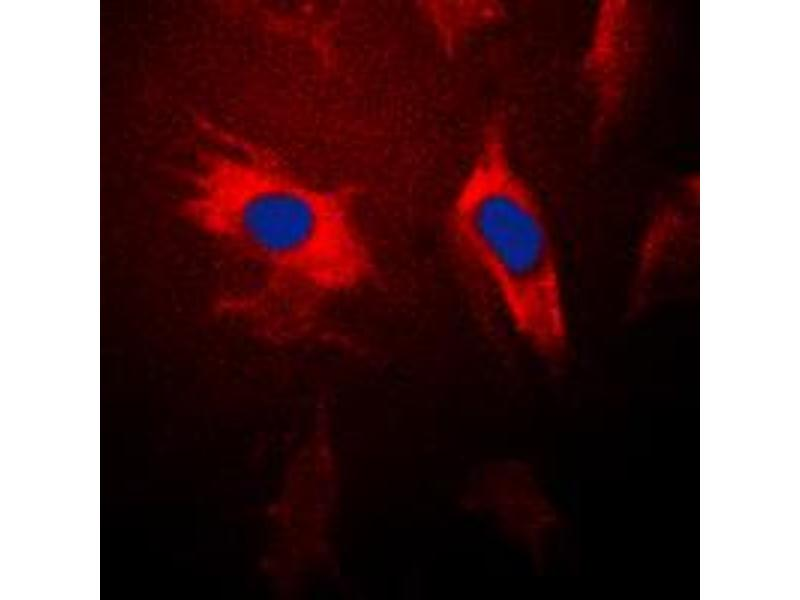 Immunofluorescence (IF) image for anti-YWHAQ antibody (tyrosine 3-Monooxygenase/tryptophan 5-Monooxygenase Activation Protein, theta Polypeptide) (Center) (ABIN2705348)
