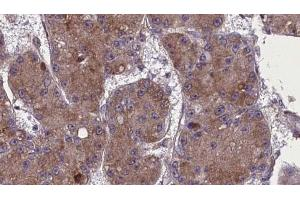 Image no. 1 for anti-Olfactory Receptor, Family 52, Subfamily R, Member 1 (OR52R1) antibody (ABIN6263882)