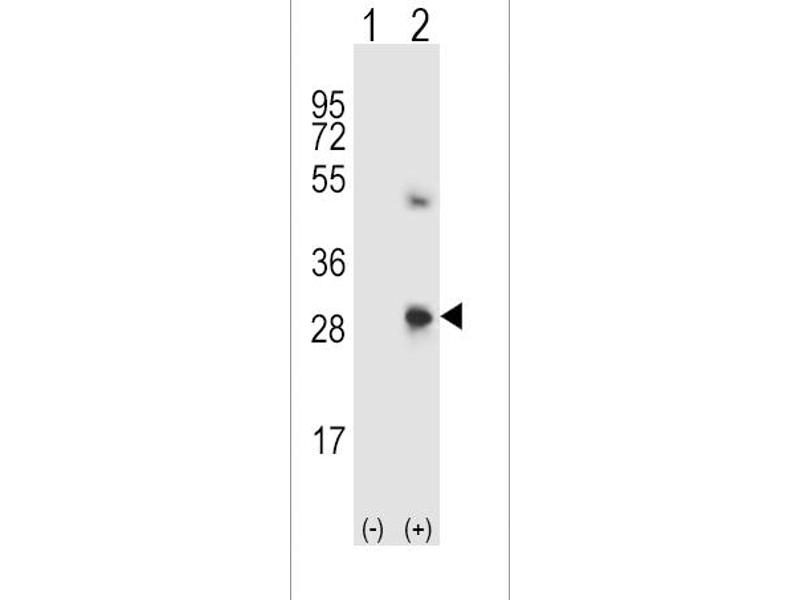 Image no. 2 for anti-Secreted Protein, Acidic, Cysteine-Rich (Osteonectin) (SPARC) (AA 224-251), (C-Term) antibody (ABIN5536420)