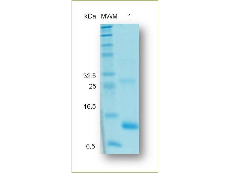 Image no. 2 for Inhibin, beta A (INHBA) (Active) protein (His tag) (ABIN1019683)