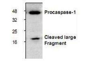 Western Blotting (WB) image for anti-Caspase 1 antibody (CASP1) (ABIN222877)