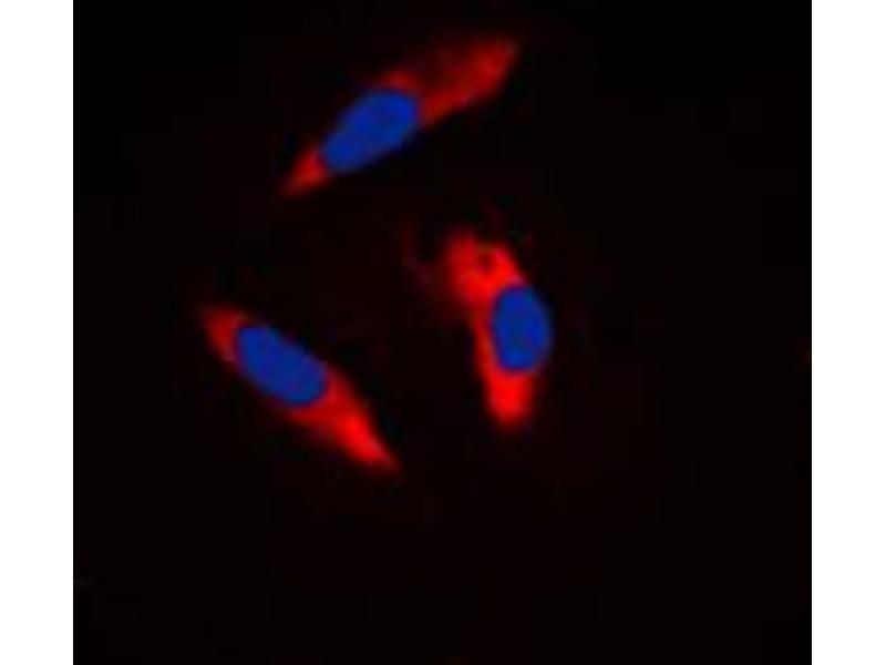 Immunofluorescence (IF) image for anti-Integrin beta 3 (ITGB3) (C-Term) antibody (ABIN2704621)