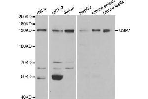 Image no. 1 for anti-Ubiquitin Specific Peptidase 7 (Herpes Virus-Associated) (USP7) antibody (ABIN3023238)