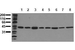 Western Blotting (WB) image for anti-ERK2 antibody (Mitogen-Activated Protein Kinase 1) (C-Term) (ABIN126832)