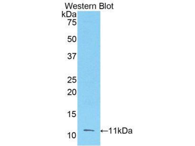 Western Blotting (WB) image for anti-Fibroblast Growth Factor 3 (FGF3) (AA 154-232) antibody (ABIN1175858)