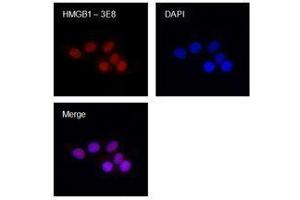 Immunofluorescence (IF) image for anti-HMGB1 antibody (High-Mobility Group Box 1) (ABIN2666344)