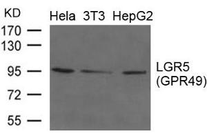 Image no. 1 for anti-Leucine-Rich Repeat Containing G Protein-Coupled Receptor 5 (LGR5) (AA 490-494) antibody (ABIN6267788)