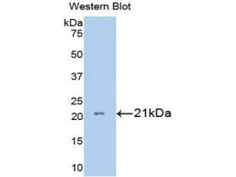 Western Blotting (WB) image for anti-Interleukin 7 Receptor (IL7R) (AA 48-217) antibody (ABIN1175191)