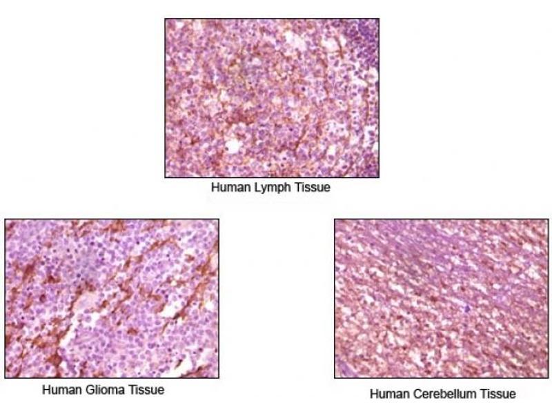 Immunohistochemistry (IHC) image for anti-Dynamin 1 (DNM1) antibody (ABIN258743)