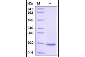 Image no. 1 for Phospholipase A2, Group IB (PLA2G1B) (AA 23-148) protein (His tag) (ABIN2181652)