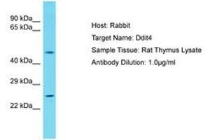 Image no. 1 for anti-DNA-Damage-Inducible Transcript 4 (DDIT4) (AA 45-94) antibody (ABIN6750381)