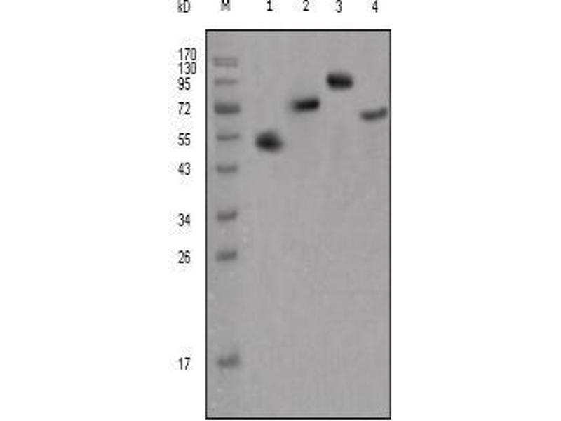 Western Blotting (WB) image for anti-FGFR4 antibody (Fibroblast Growth Factor Receptor 4) (ABIN2436821)