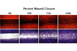 Cellular Assay (CA) image for CytoSelect™ 24-Well Wound Healing Assay (ABIN2344870)