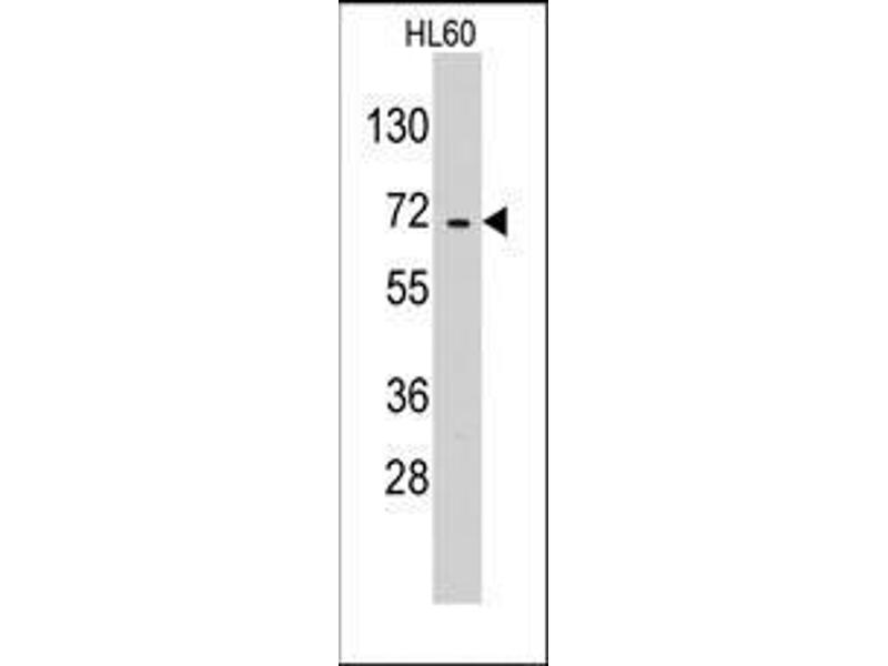 Western Blotting (WB) image for anti-Glutamyl-tRNA Synthetase 2 Mitochondrial (Putative) (EARS2) (C-Term) antibody (ABIN359739)
