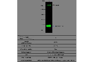 Immunoprecipitation (IP) image for anti-V-Erb-B2 Erythroblastic Leukemia Viral Oncogene Homolog 3 (Avian) (ERBB3) (AA 1-643) antibody (ABIN1996033)