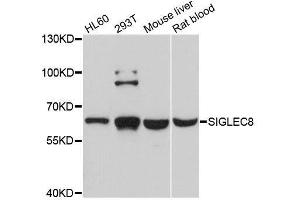 Image no. 1 for anti-Sialic Acid Binding Ig-Like Lectin 8 (SIGLEC8) antibody (ABIN6147766)