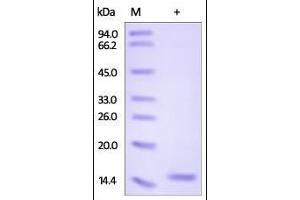 Image no. 1 for Fatty Acid Binding Protein 7, Brain (FABP7) (AA 2-132) protein (His tag) (ABIN2181061)